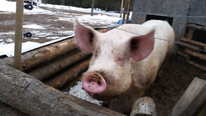 Intact boar for sale