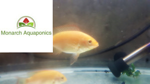 Tilapia Fish For Sale   Fry/Fingerling   Canada Wide Shipping