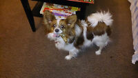 NEW HOME FOR ADULT PAPILLON  & YORKIE-POO