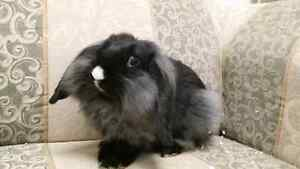 Holland Lop and Lionshead Cross Bunny's