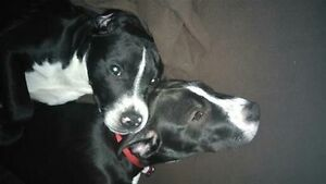 (On hold) Bella and Chanelle are looking for a loving home Gatineau Ottawa / Gatineau Area image 9