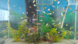 Cichlids fry for sale