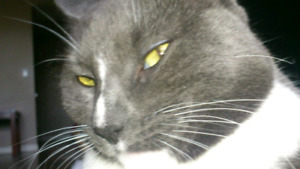 Russian blue mix for sale