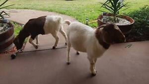 2 Goats For Sale Taree Greater Taree Area Preview