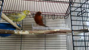 Canary for sell  $170 +cage my phone 2262606657