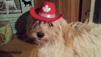 HAVA GREAT CANADA DAY!!  HAVANESE puppies available.