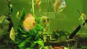 Freshwater fish for sale high quality and diverse  West Island Greater Montréal image 2