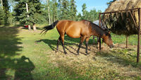 17 yr old TB arab/paint cross mare