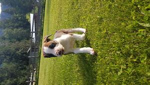 Italian Mastiff/Boxer