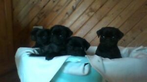 Adorable chiots pugs carlins  noir