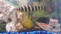2 Leoparanis South American freshwater fish.Pls make an offer.
