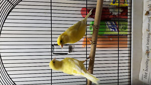 Budgies and canaries with cage