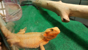 Bearded dragon (PRICED REDUCED!!)