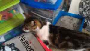 FOUND - white/brown/black female cat with kittens London Ontario image 2