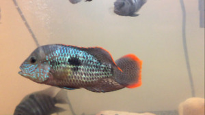 Green Terror & Convict Cichlids for sale