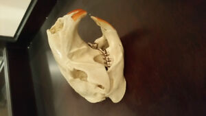 Authentic real bone complete  beaver skull for sale.  One left.