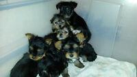Magnifique Choits de Yorkshire terriers!!!