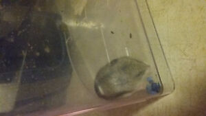 Chinese Male Hamster