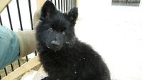 German Shepherd pups (Non registered)