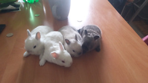 Cross breed rabbits _mini rex- mineature- dwarf rabbits