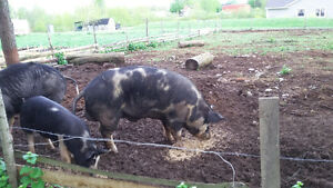 2 year old proven boar