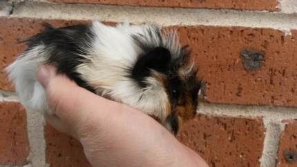 Very cute baby boy guinea pig for sale! Gordon Ku-ring-gai Area Preview
