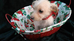 terrier/schnauzer/chihuahua rescued puppies for adoption
