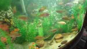 Cichlids and various other fish and tanks