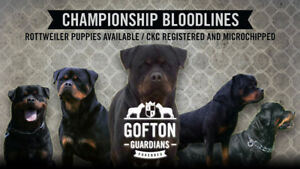 Rottweiler puppies available  CKC registered and microchipped