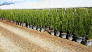 Emerald Cedar Hedging Trees