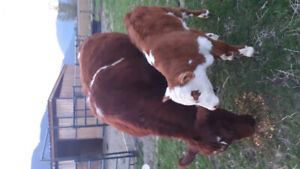 Registered young shorthorn cow with beef bull calf