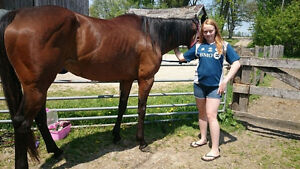 7 year old TB Mare for sale/trade Stratford Kitchener Area image 4