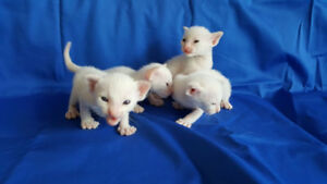 ONLY 1 REGISTERED CLASSIC FLAME POINT SIAMESE KITTEN LEFT