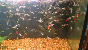 Guppies for Sale (Tropical fish)