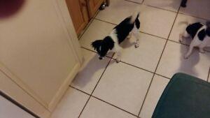 Chihuahua 2 femelles et 1 mâle le tout $1950 réduction d'élevage