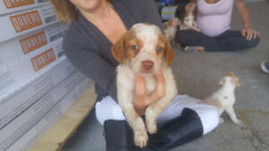 BRITTANY SPANIEL PUPPIES 7 LEFT
