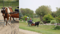 Package of 2 Well-Trained Miniature Horses, Cart & Harness