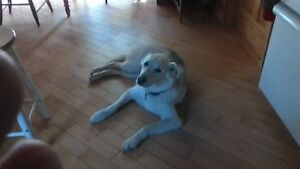perdue chienne Husky Labernois