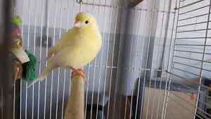 3 canaries for best offer
