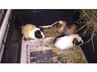 Three guniea pigs for sale 4 moths old