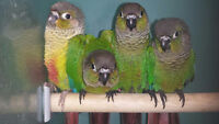 EXOTIC PETS****** NEW BABY CONURES!!* VALENTINES DAY SPECIAL!