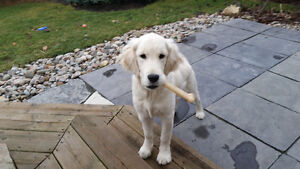 Golden Retriver puppy for rehoming