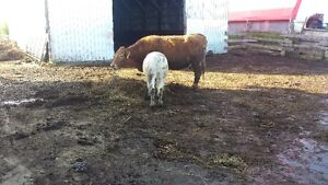 6 cows charolais cross limousin  for sale