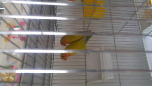 Fisher GREEN OLIVE (rare) lovebirds inseparables 50$ chaque