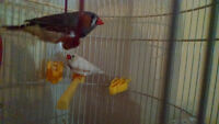 Male and Female Zebra Finches -with cage, accessories, and food