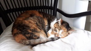 Mature female calico cat for rehoming for free