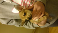 Chihuahuas dog's looking for a good home
