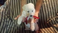 4 cute male white German Shepherd puppies for sale
