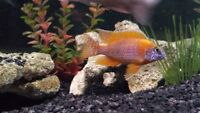 New Cichlid group to buy sell trade and chat