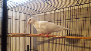doves and button quail
